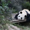 Highly religious S'poreans accuse zookeepers of watching pandas mate for own gratification